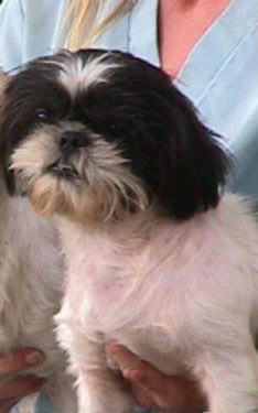 We Were Adopted From Shih Tzu Rescue Inc