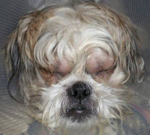 Shih Tzu Rescue Rescue Stories Halsey