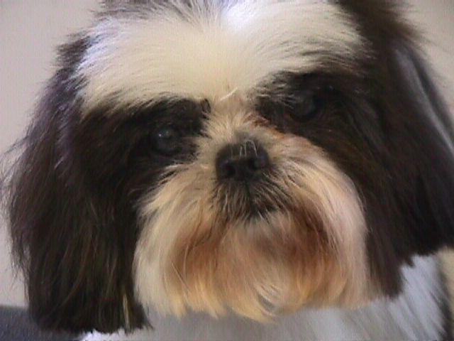Shih Tzu Rescue Adoption Application