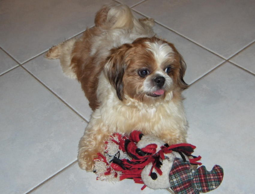 Shih Tzu Rescue Non Profit Animal Shelter And Sanctuary In South Florida